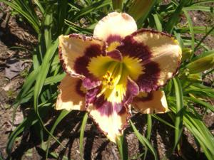 Spacecoast Sea Shells Daylily - June 24, 2015
