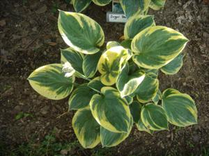 Hosta - 'Sugar Daddy'