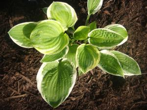 Hosta - 'Mildred Seaver'