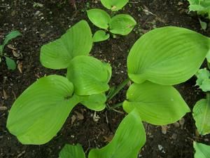 Hosta - 'Sum and Substance'
